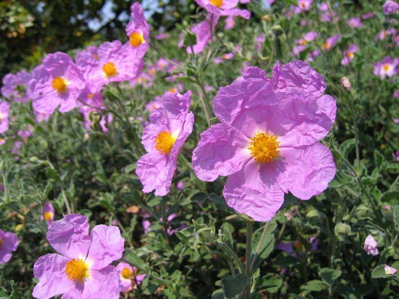 Cistus incanus divoká růže - imunitní ochrana